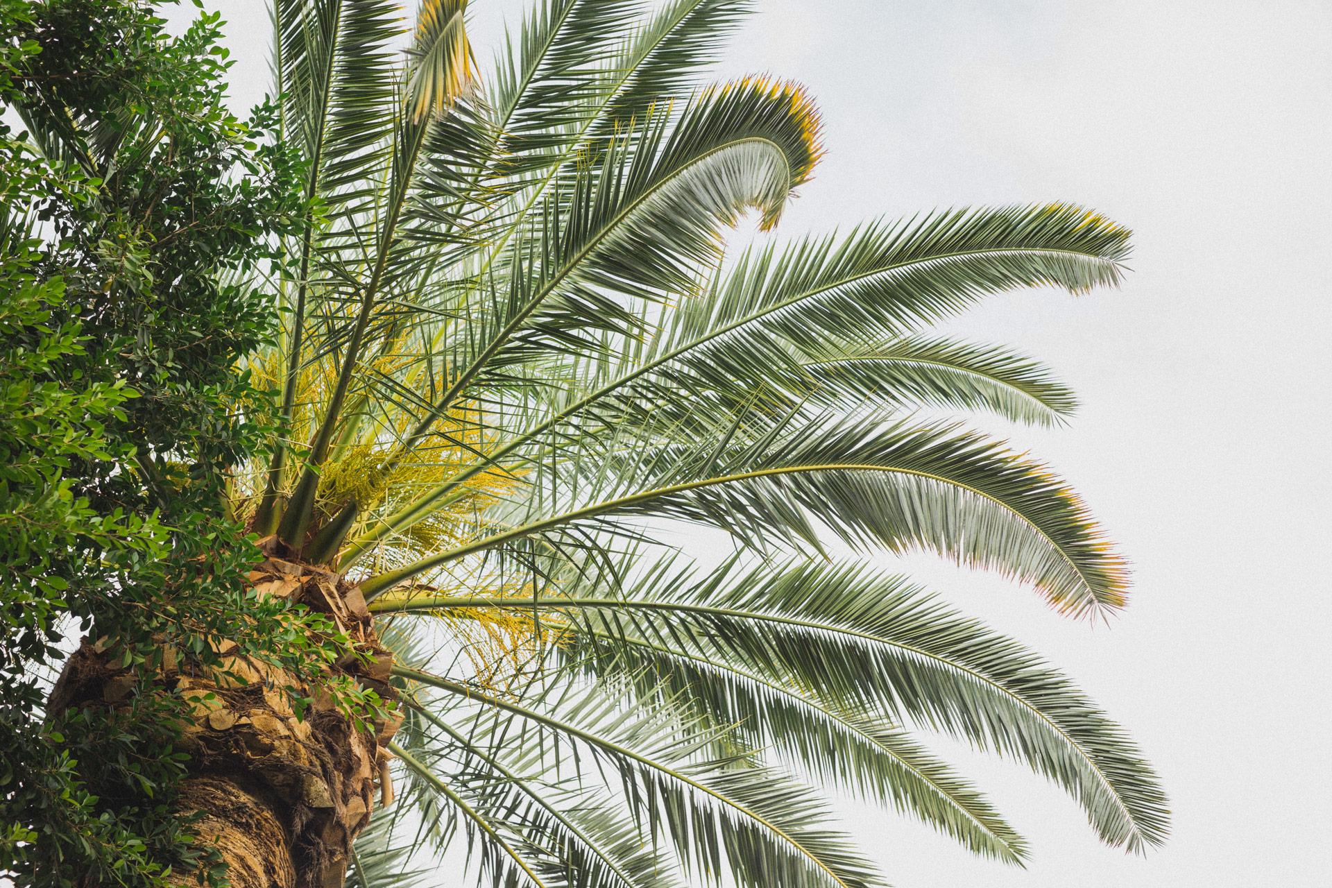Krone einer Palme, von unten fotografiert