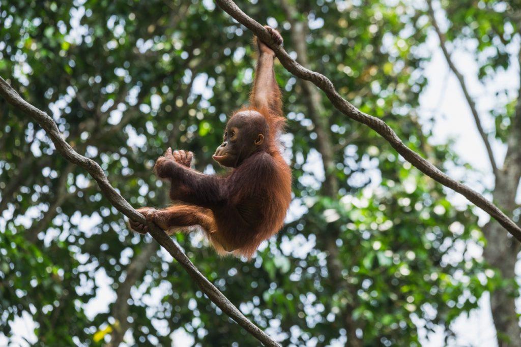 junger Orang-Utan, der sich von einem Baum zum anderen schwingt